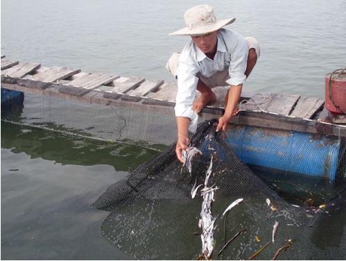 Hệ thống xử lý nước thải không đạt tiêu chuẩn dẫn tới cá chết hàng loạt